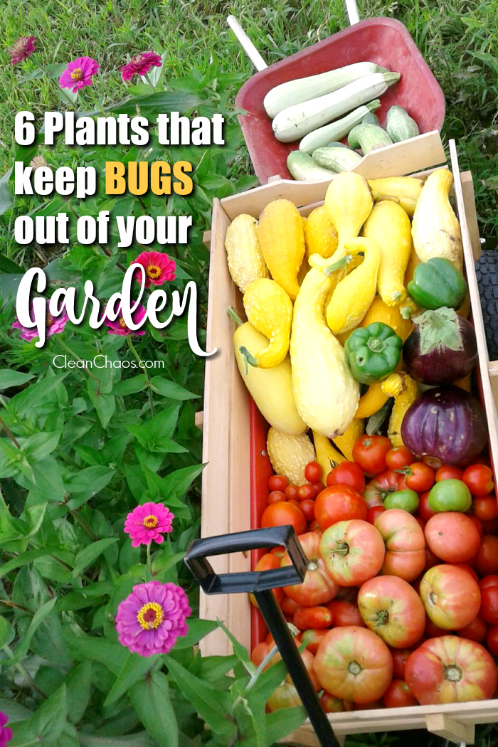 Some pests are helpful, but not all. Learn all about plants that keep bugs out of your garden, so you can have a bountiful harvest this summer - the natural way!